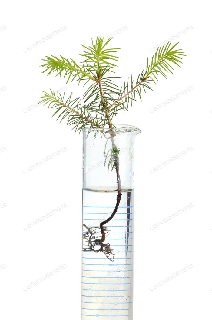 Fir tree in test tube