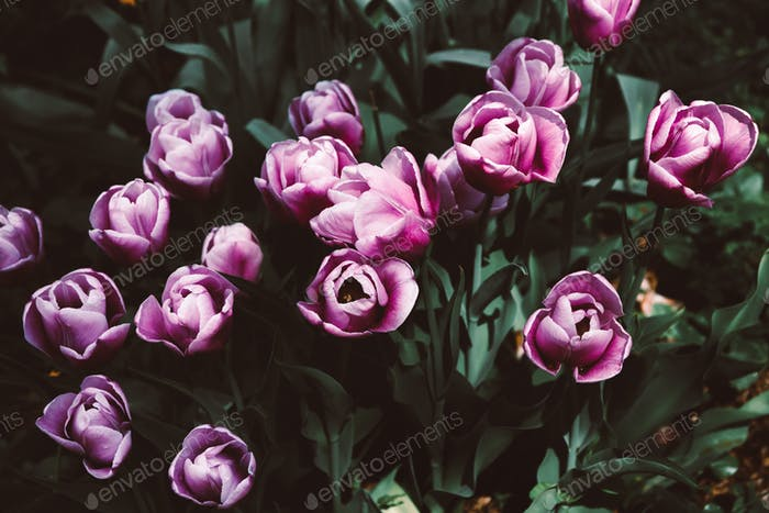 Moody dark creative photography of purple tulips