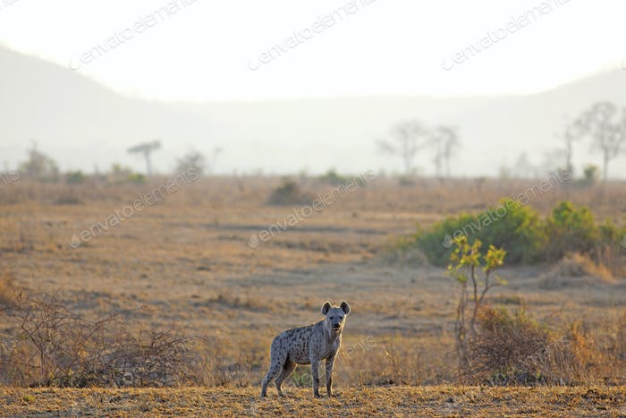 Hyäne bei Sonnenaufgang