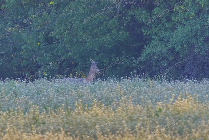 Roe deer (Capreolus capreolus) in forest