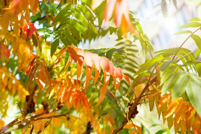tree with yellow, red and green leaves in autumn, natural background