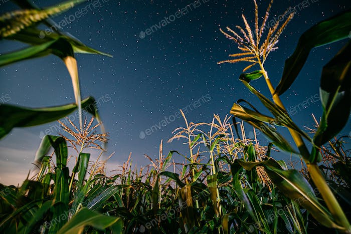Bottom View Of Night Starry Sky From Green Maize Corn Field Plan