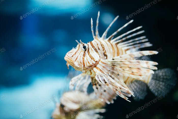 Thumbnail for Portrait of beautiful venomous lion fish in aquarium