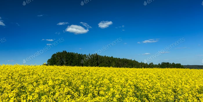 Spring summer background - rape field with blue sky