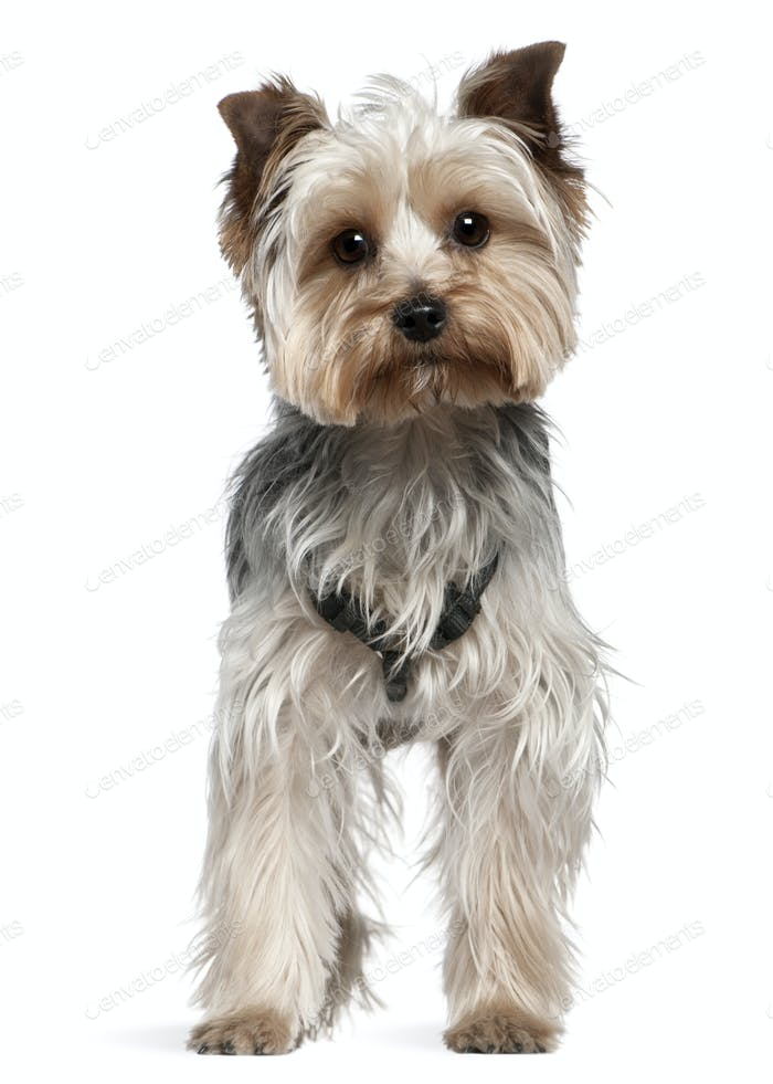 Yorkshire Terrier, 13 months old, standing in front of white background