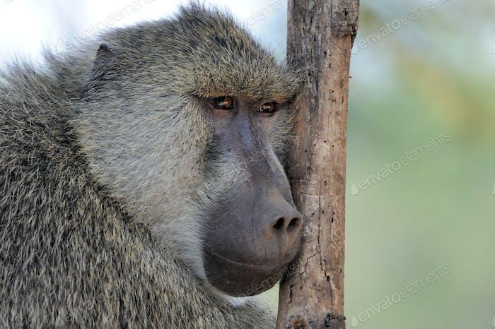 Olive baboon in Masai Mara National Park of Kenya