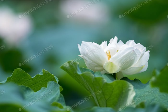 blooming white lotus flower closeup