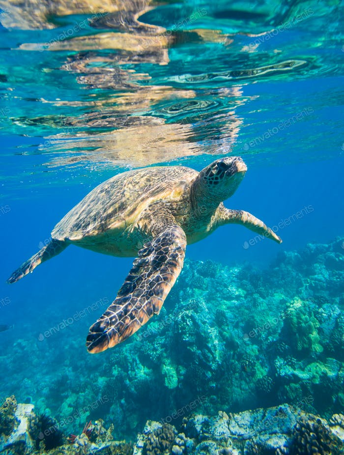 grüne Meeresschildkröte Schwimmen im Meer