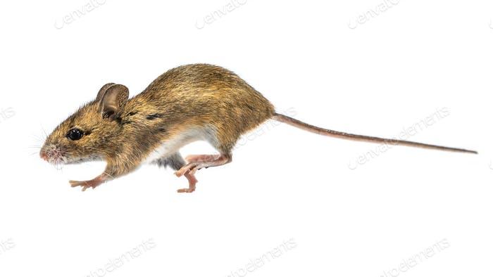 Laufende Maus isoliert auf weißem Hintergrund