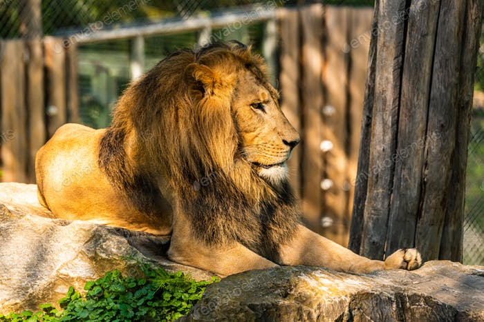 Male Lion in zoo Herberstein Austria resting in sun
