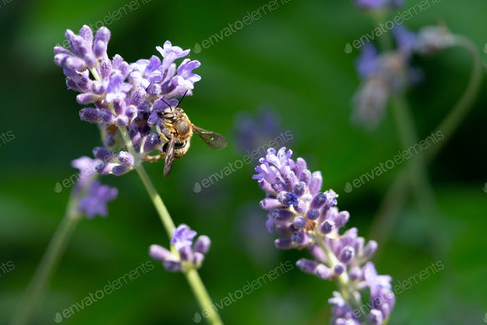 Honeybee feeding on a single stem of english lavender with a natural green background