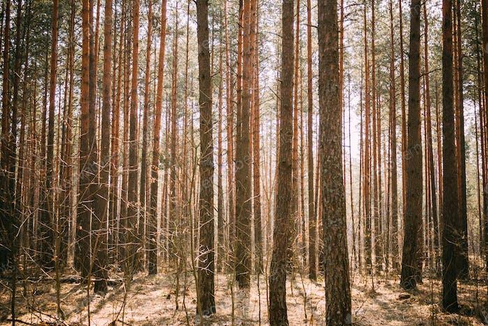 Spring Pine Forest Background