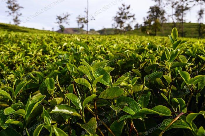 Fresh tea leaves on  plantations