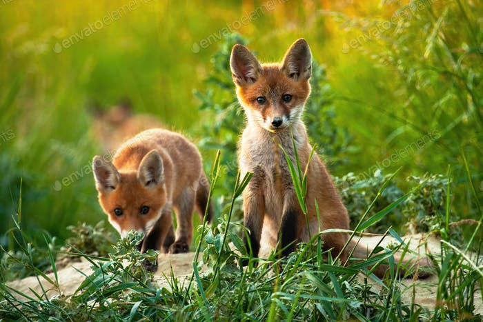 A pair of adorable cubs of red fox facing camera in the middle of the field