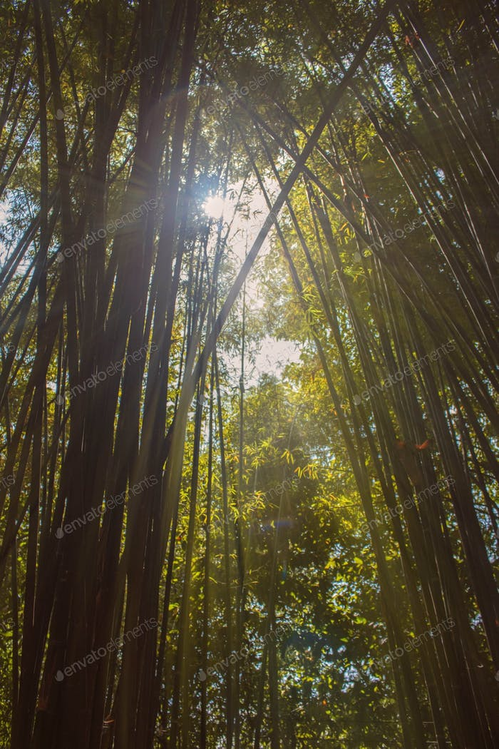 Bamboo with a sunlight