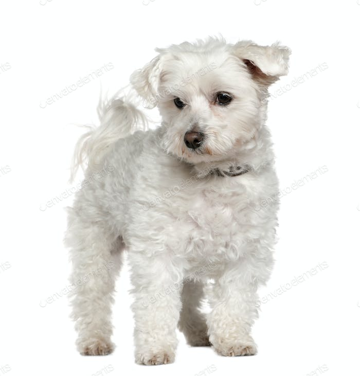 Maltese, 8 years old, standing in front of white background