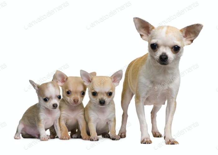 Chihuahua mother and her 3 puppies, 8 weeks old, in front of white background