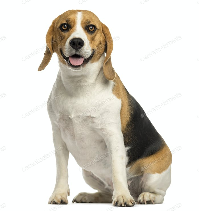 Beagle sitting, panting, isolated on white