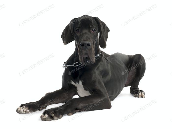 Great Dane puppy (7 months old)