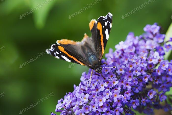 Nahaufnahme von Admiralschmetterling, der Nektar aus einem lila lila lila Blütenkopf sammelt.