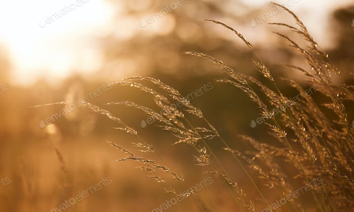 Grass and pollen in the blowing wind