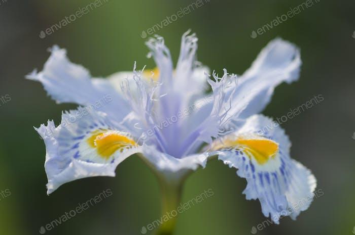 Nahaufnahme von gelben und blauen Iris Blumen