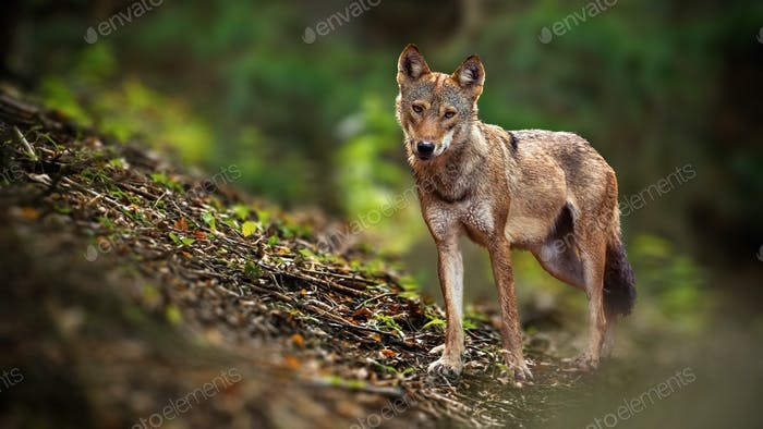 Alert wolf facing camera in summer forest from front view with copy space