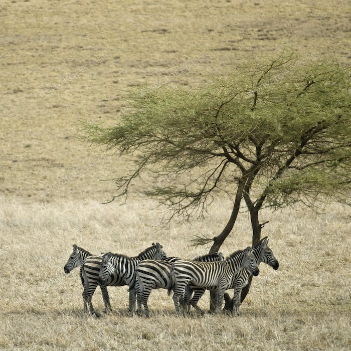Zebra in the Serengeti, Tanzania, Africa