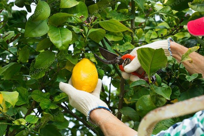 Senior farmer harvesting lemons with garden pruner in hands