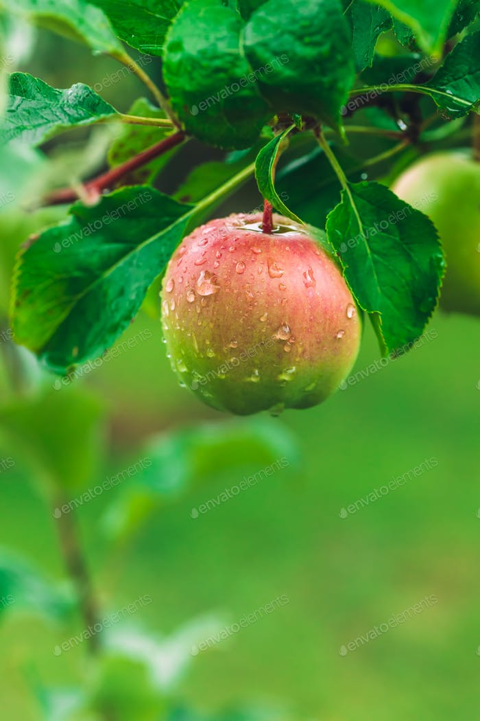 Apple hanging from a green tree