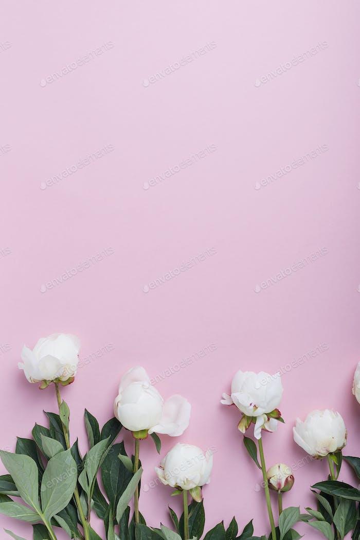 White elegant peony on the pink background