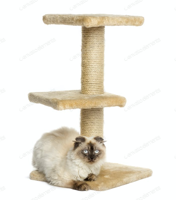 Highland fold on a cat tree, facing the camera, isolated on white
