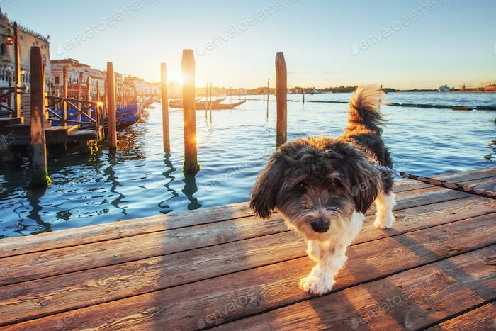 Puppy in Venice gondolas in the background at sunset San Marco, Venice, Italy .