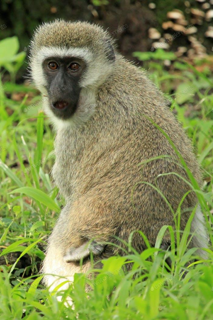 Vervet Monkey - Kenya