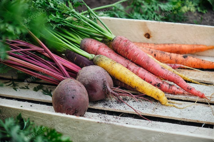 Carrots and beets in a wooden box