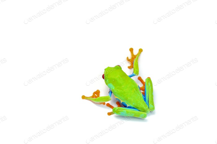 Red eyed tree frog isolated on white background