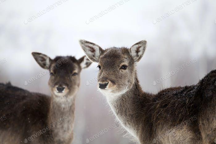 Deer in wintertime
