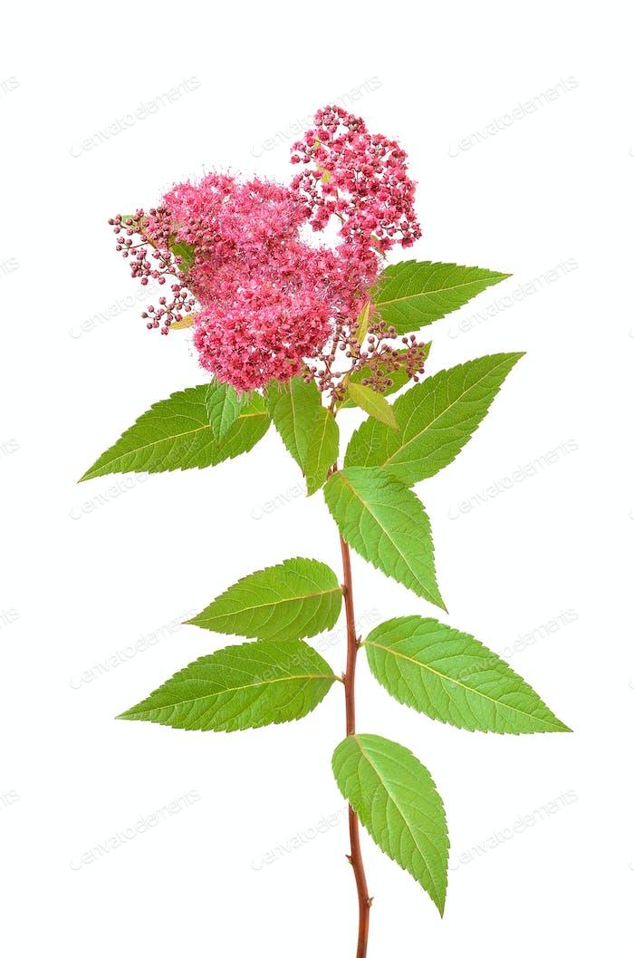 Spiraea japonica (japanische Spiraea) Zweig