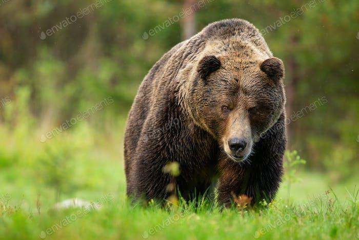 Bedrohlicher Braunbär männlich nähert sich aus der Vorderansicht auf Wiese in der Hohen Tatra