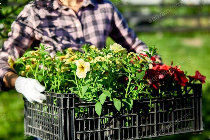 Florist Aufbewahrungsbox voller Petunien Blumen.