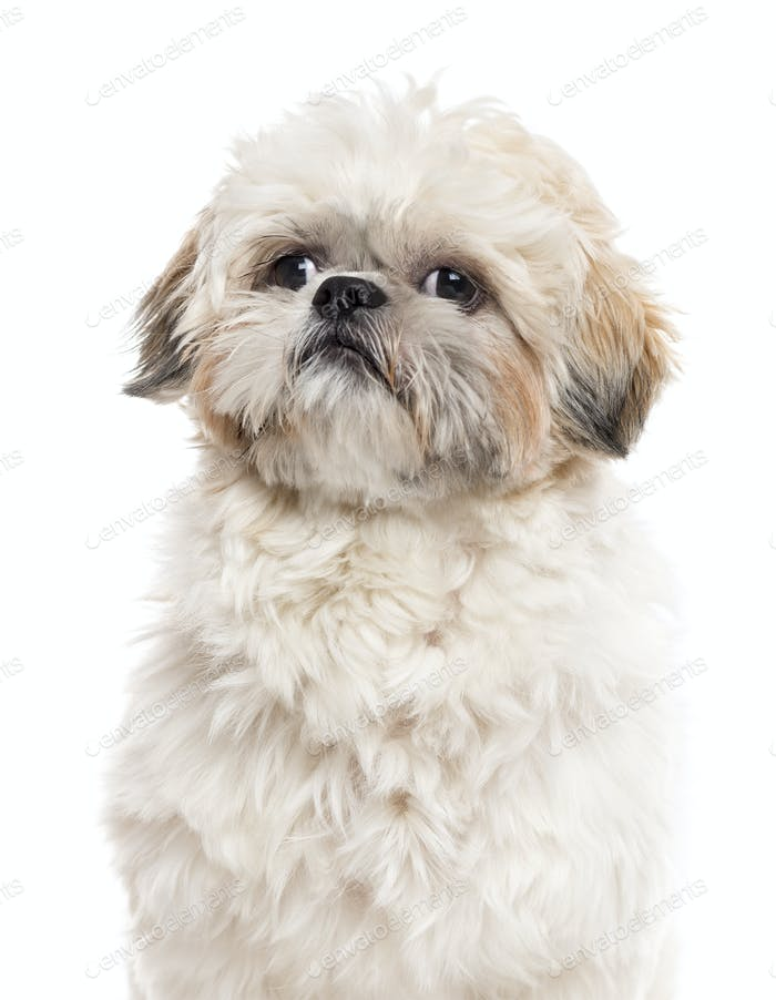 Close up of a Shih Tzu isolated on white