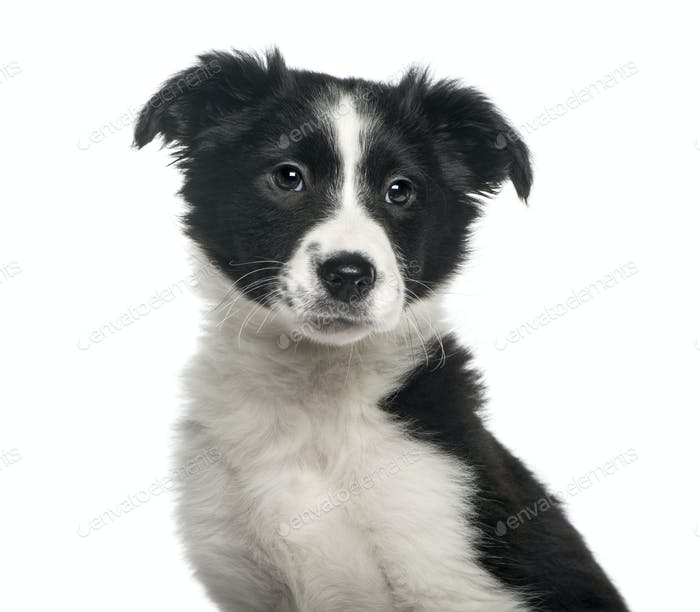 Close-up of a puppy border collie, 4 weeks old, isolated on white
