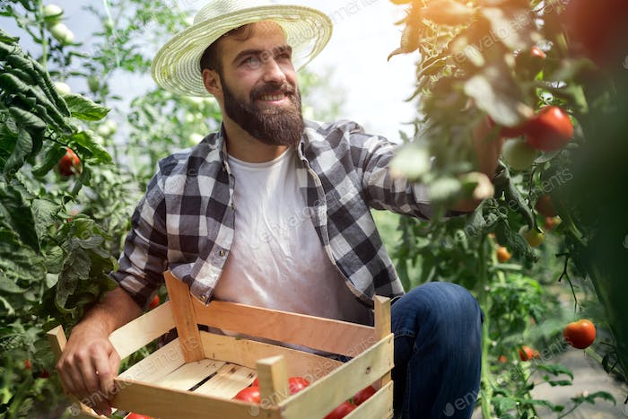 Caucasian farmer picking fresh tomatoes from his hothouse