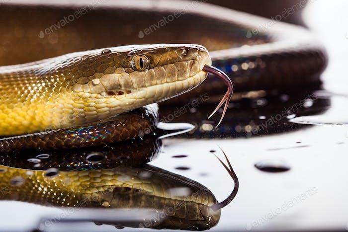 Single Rainbow Serpent Water Python - Liasis fuscus - isoliert