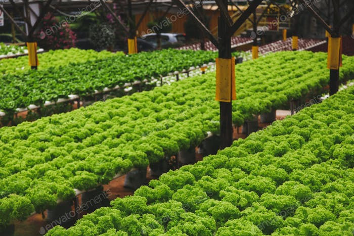 rows of fresh green lettuce growing at indoors plantation