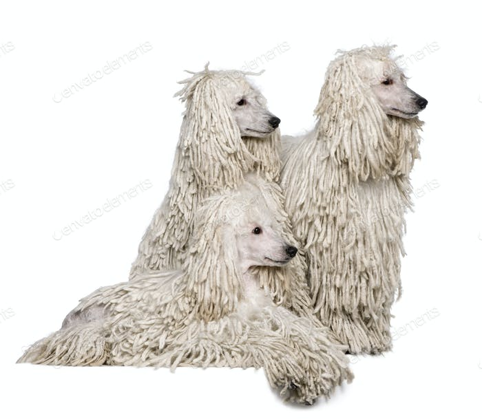 Three White Corded standard Poodles in front of white background