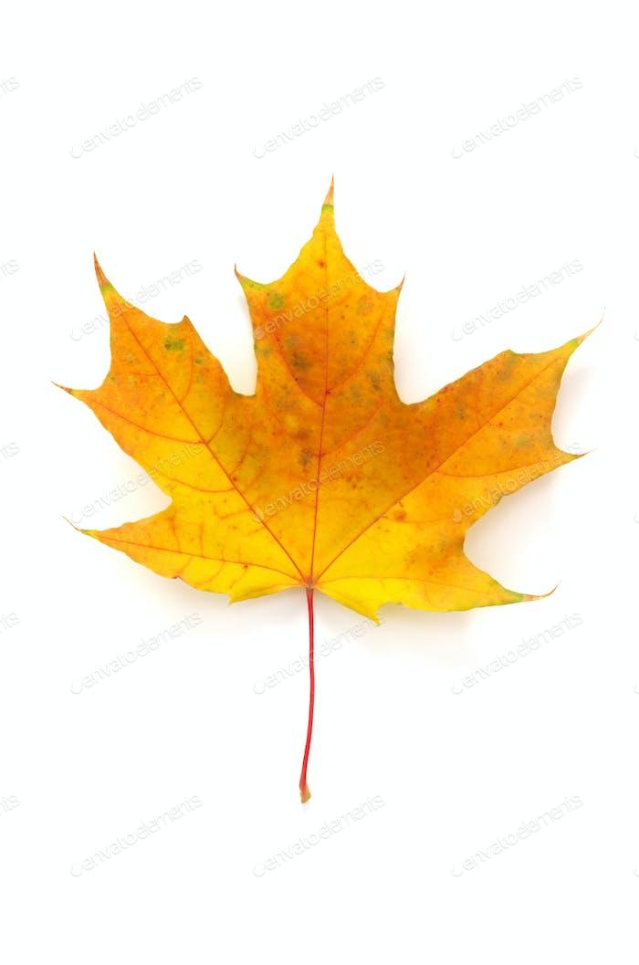 Autumn leaf maple isolated.