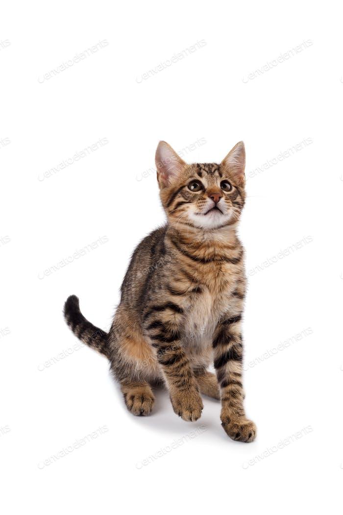 spielerische Bengalkatze