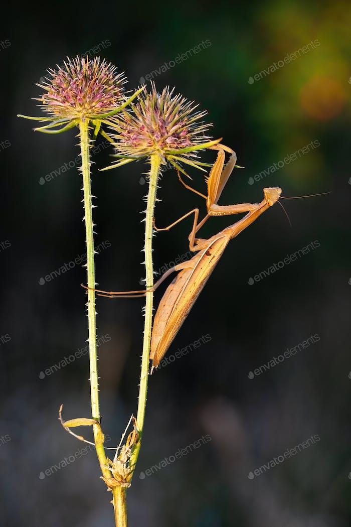 Mantis europea marrón sosteniendo en flor cardo en la naturaleza de verano