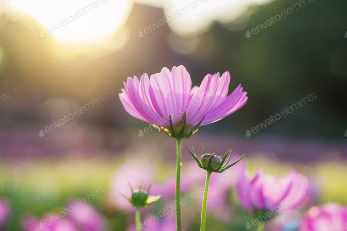 pink cosmos with sunrise